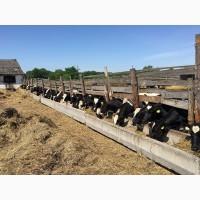 Продам телки 6-8 мес