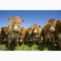 Ууплю крупно-рогатый скот, быков, лошадей. Дорого