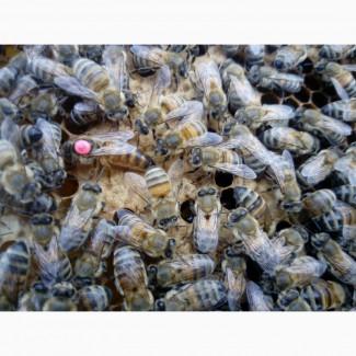Пчеломатка Бакфаст (Buckfast) F1 (V89) (Вароа талерантная)