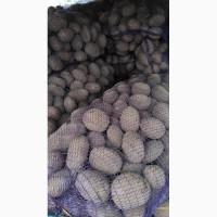 Продам картофель, сорт Вектар, Уладар