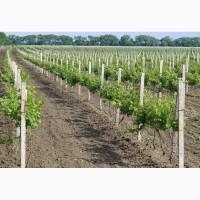 Продам оптом виноград СТОЛОВЫХ сортов с собственных виноградников, Одесса
