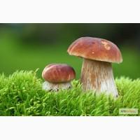 Продам боровик(белый гриб)