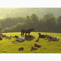 Купим быков, коров, лошадей живым и убойным весом у населения и организаций