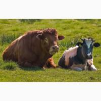 Куплю бычков, коров живым и убойным весом. Дорого