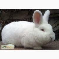 Продам кроликов новозеландской породы