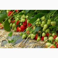 Принимем заказы на рассаду клубники сорта флэр (ранний)